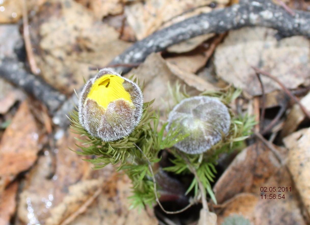 Адонис верналис - горицвет весенний