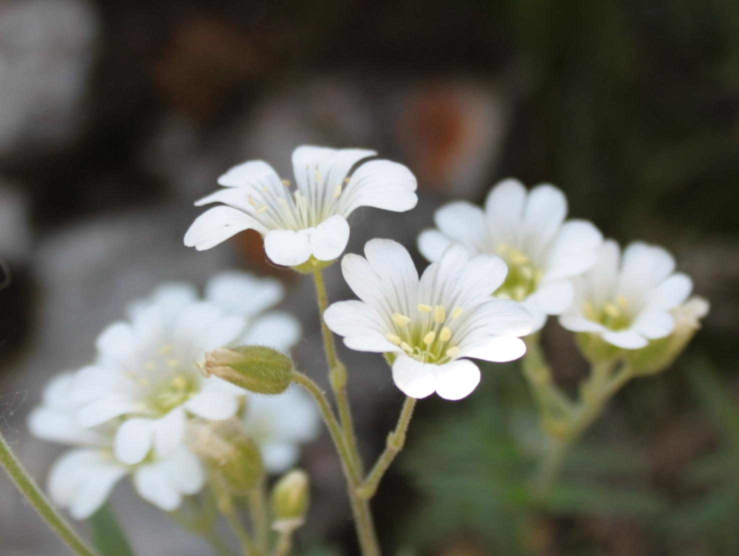 альпийская флора