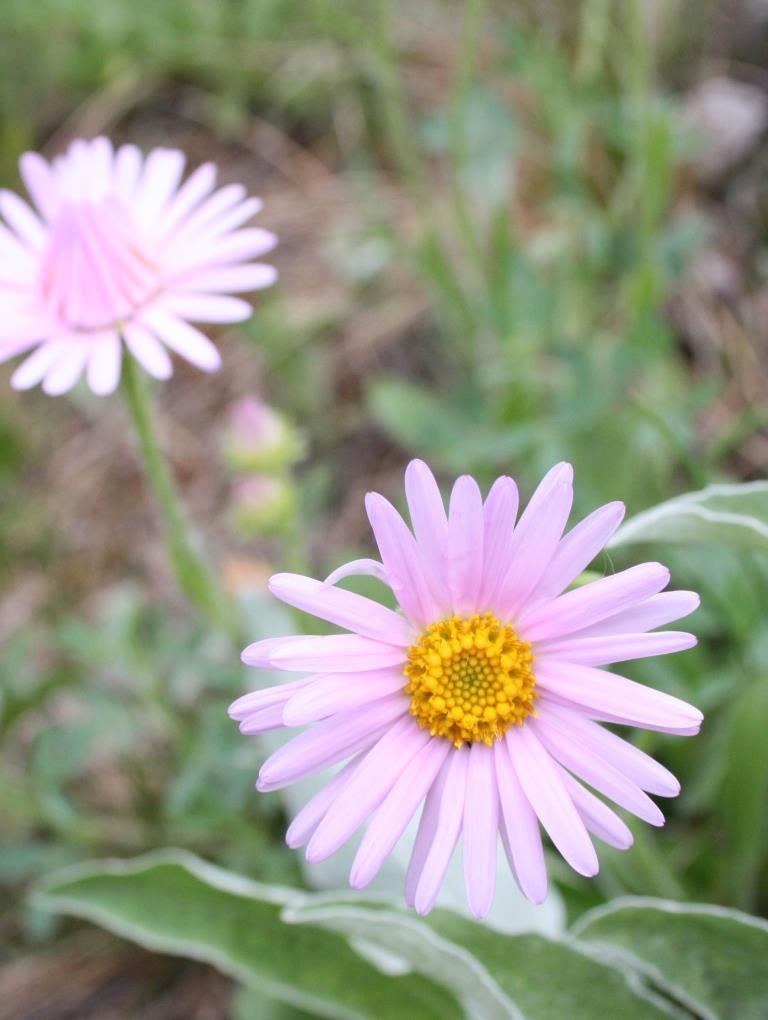 астра альпийская с розовыми соцветиями