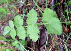 Бедренец камнеломка, прикорневой лист