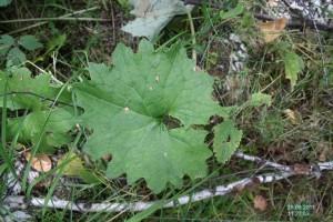Лист белокопытника холодного