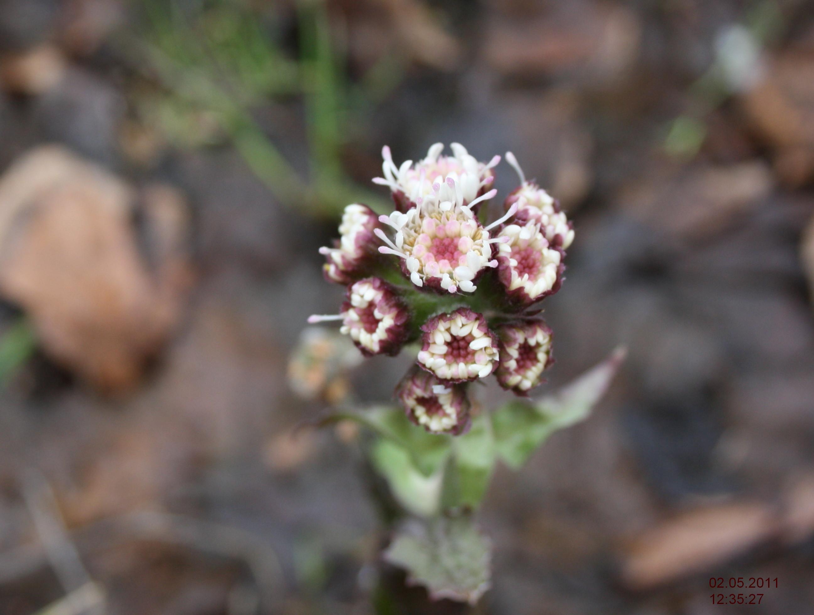 Цветы белокопытника болотного