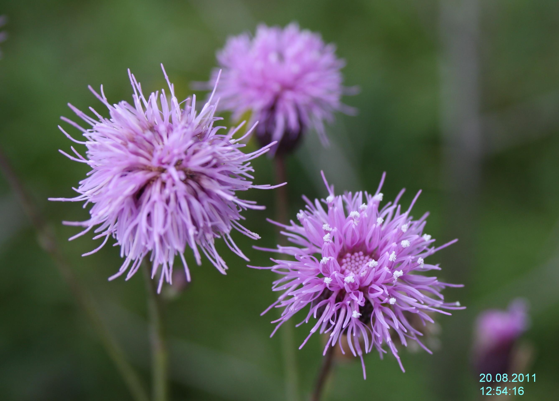 Бодяк полевой - соцветия.