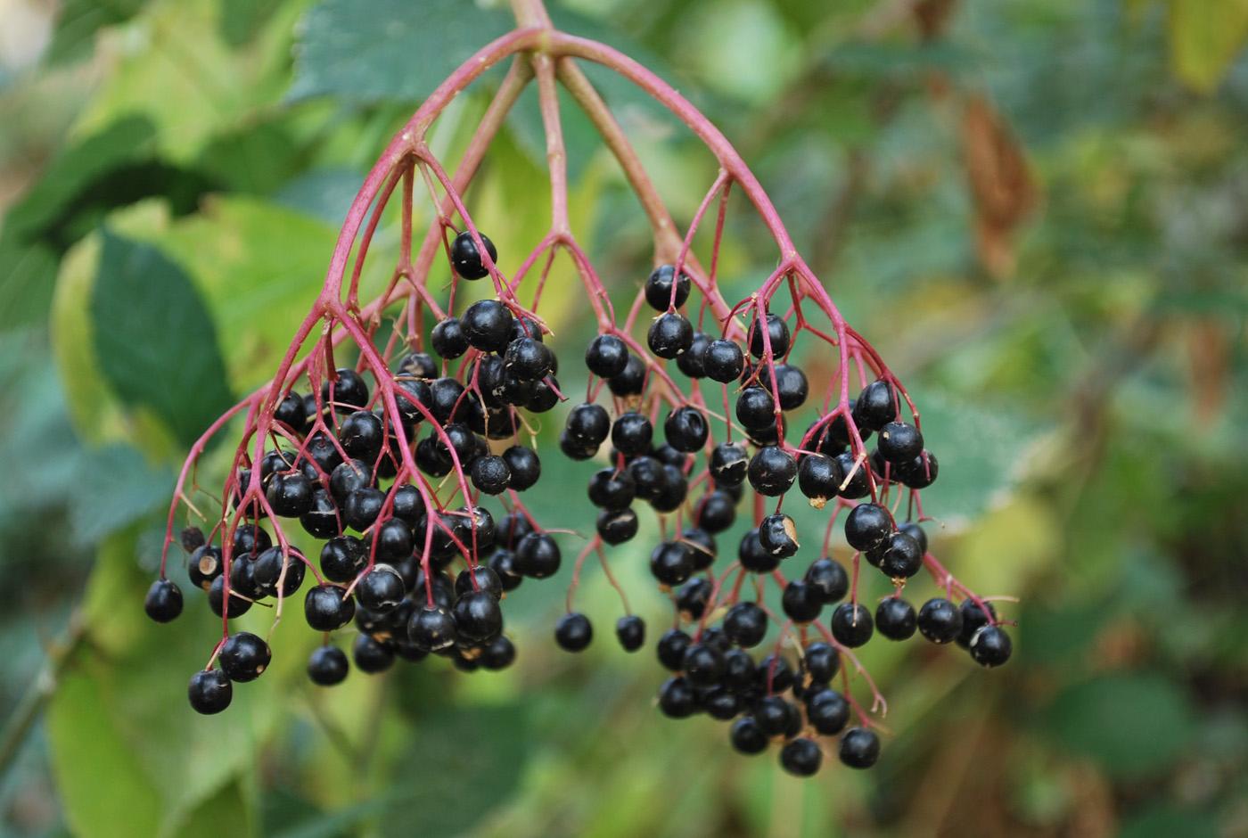 Бузина черная, плоды