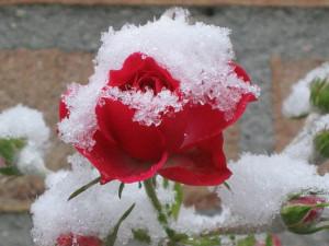 rosa на зиму