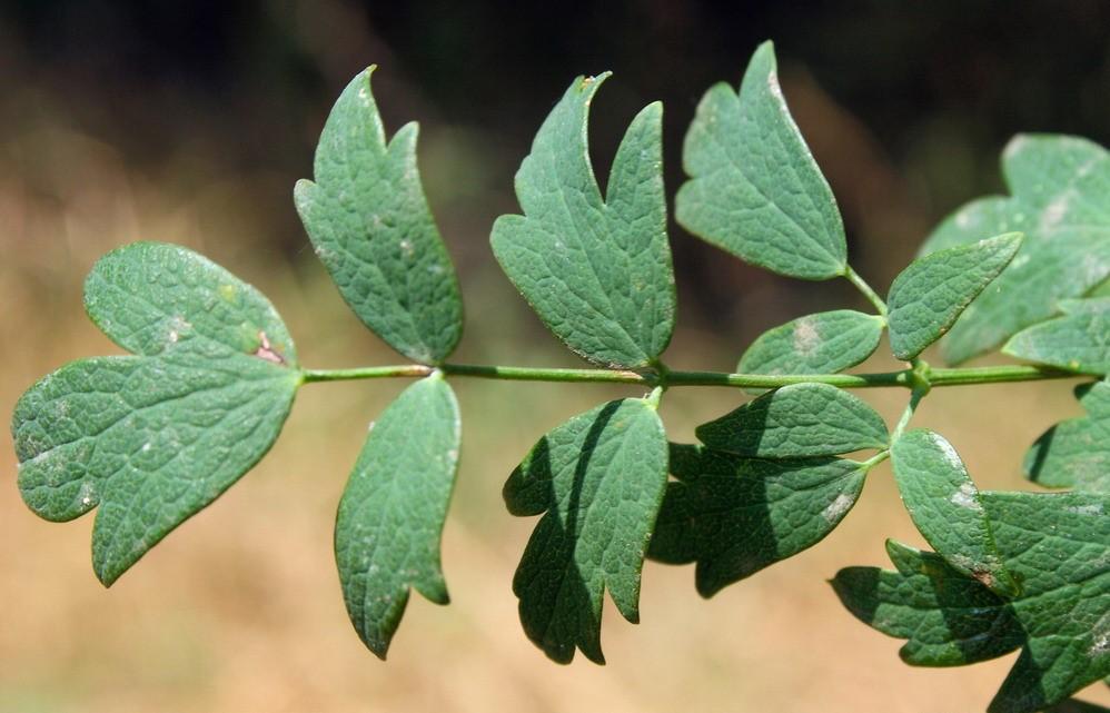 Василисник малый, лист растения