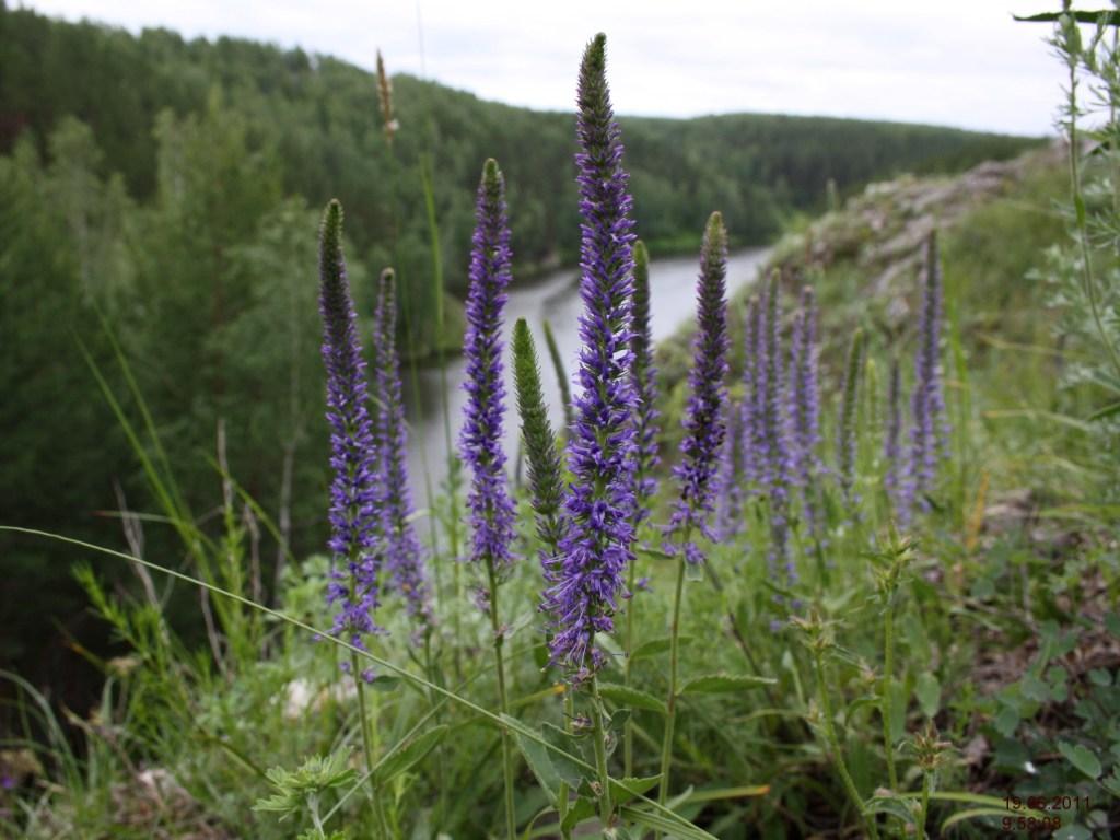 Вероника колосистая, цветущее растение.