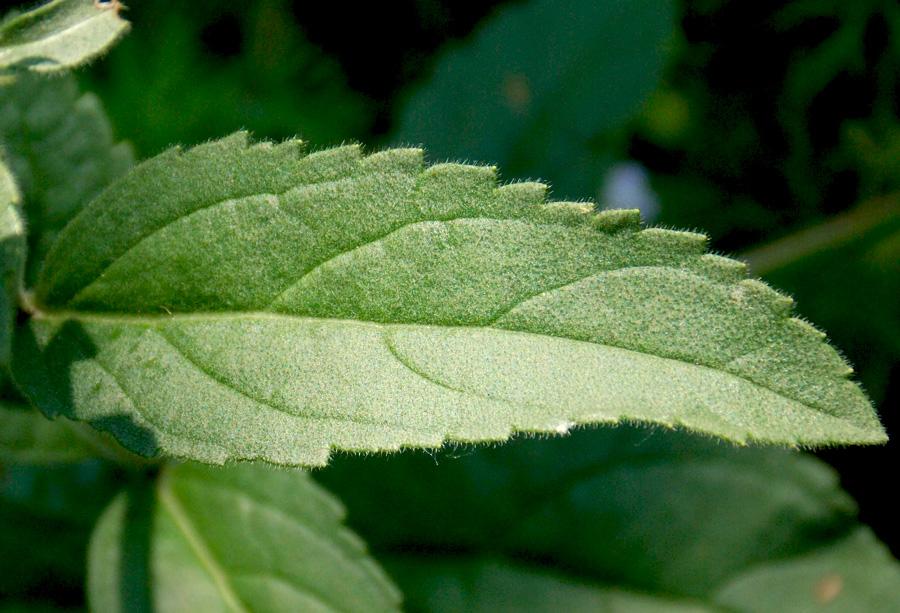 Вероника колосистая, стеблевой лист