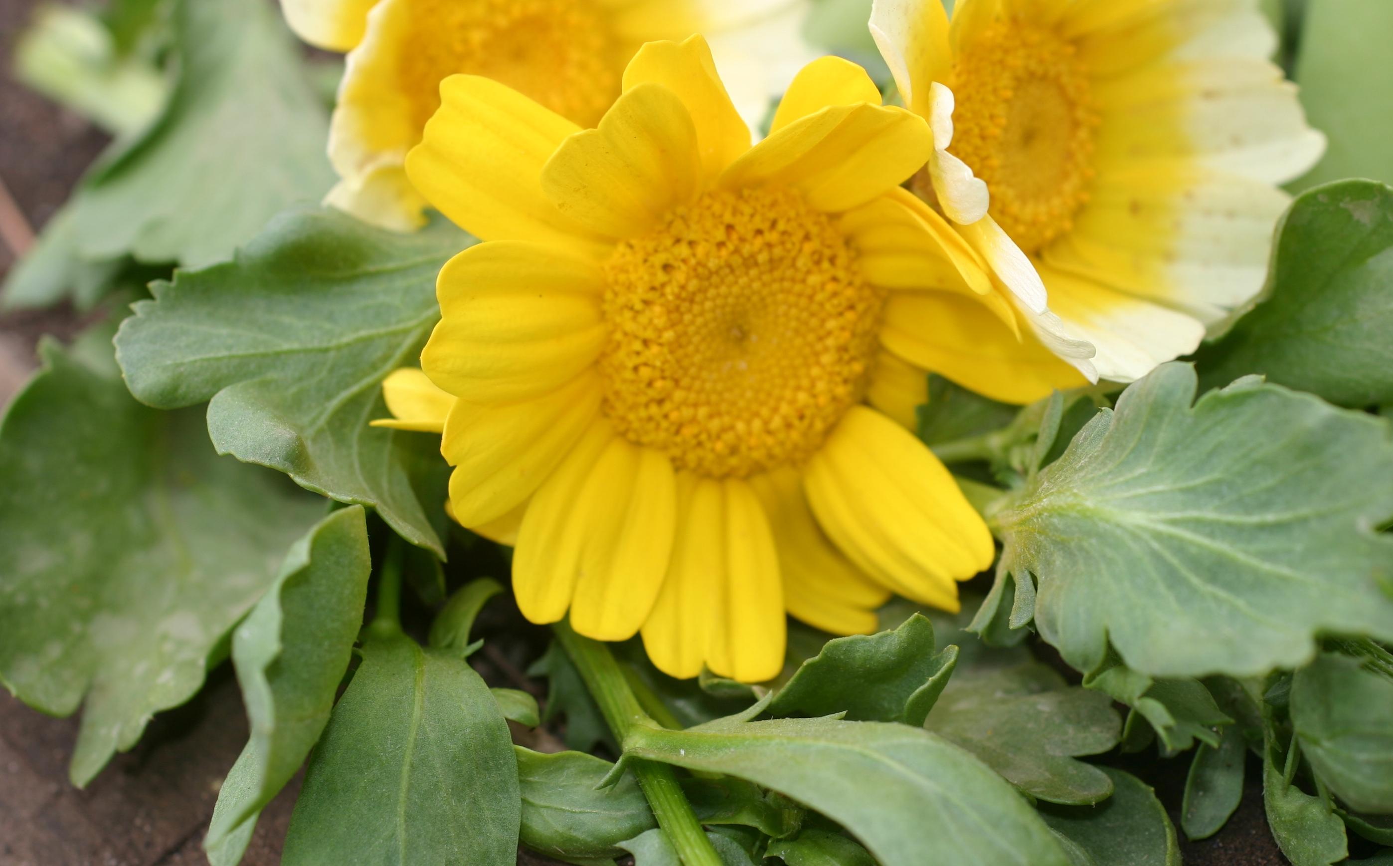 Овощная Хризантема – выращивание и полезные свойства