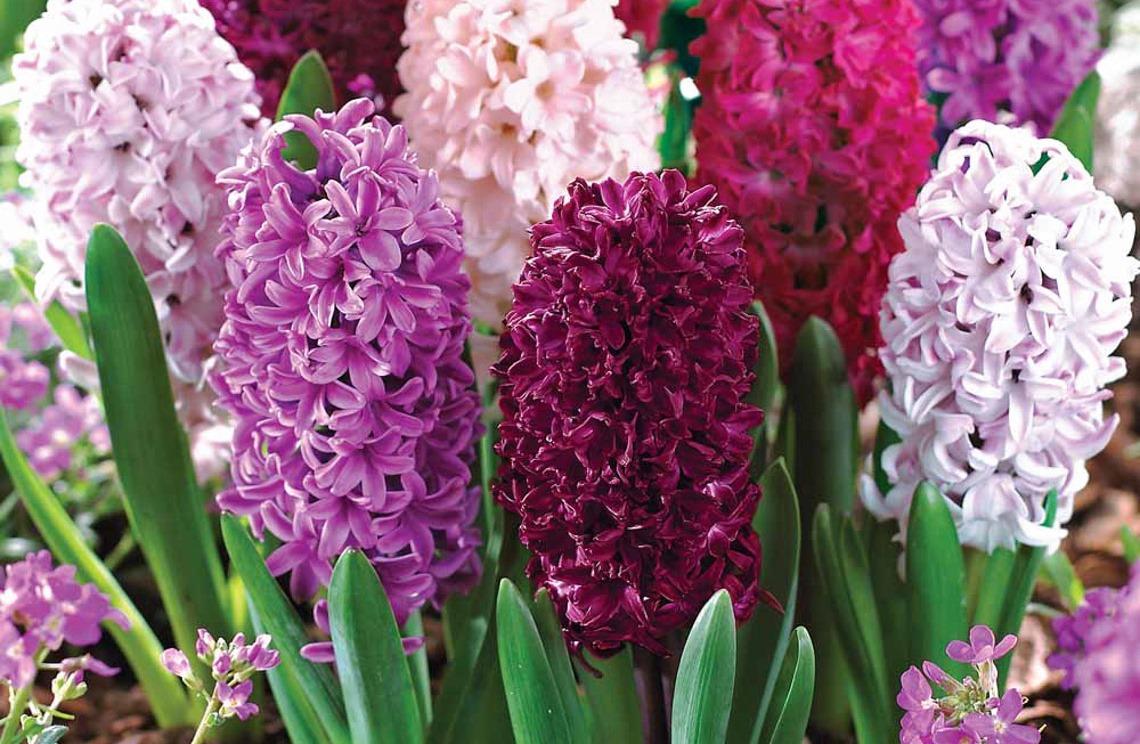 гиацинты разных расцветок