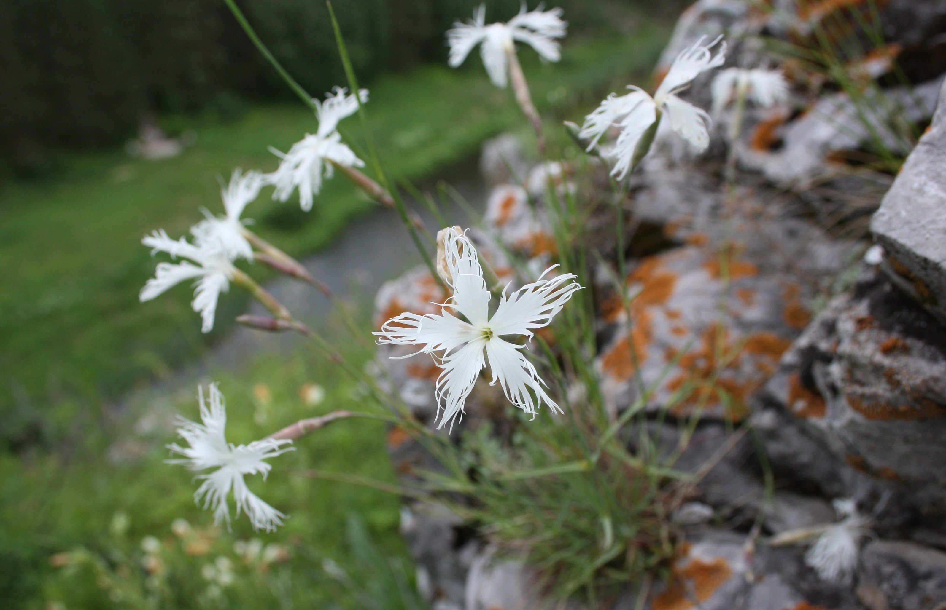 Цветки иглистой гвоздики
