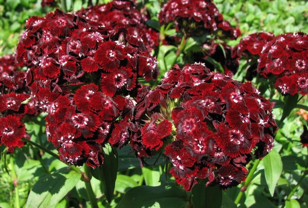 Турецкая гвоздика цветок