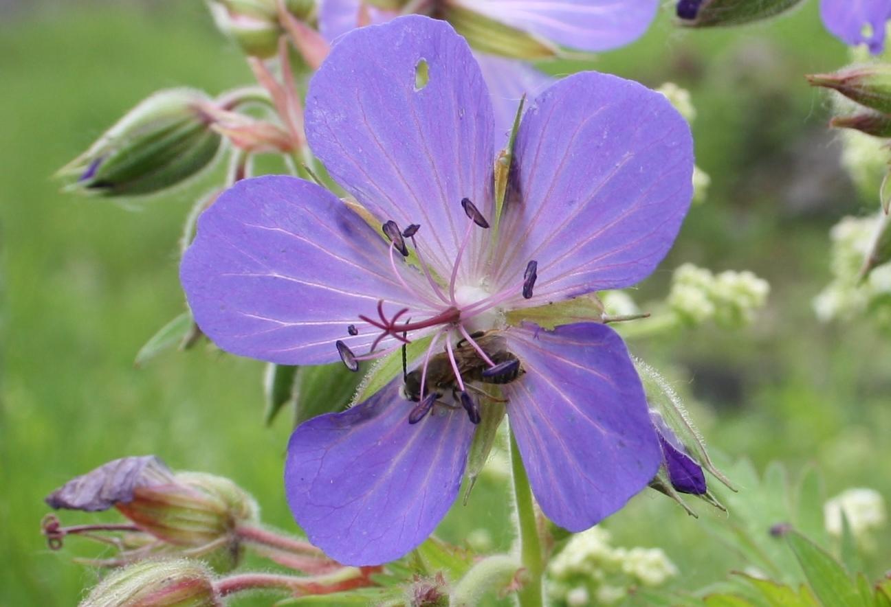 Цветок герани луговой.