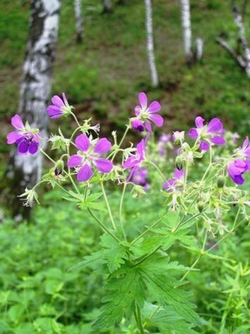Фото цветка герань лесная