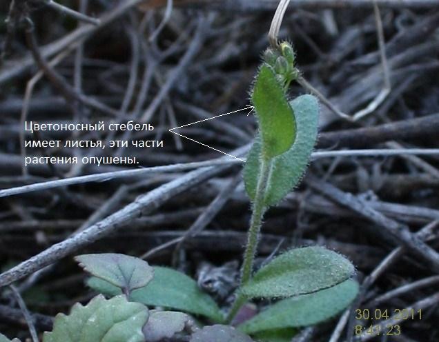 Растение крупка