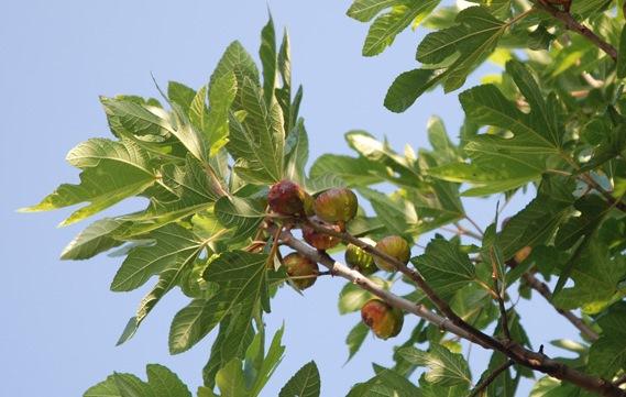 Фиговое дерево, или инжир