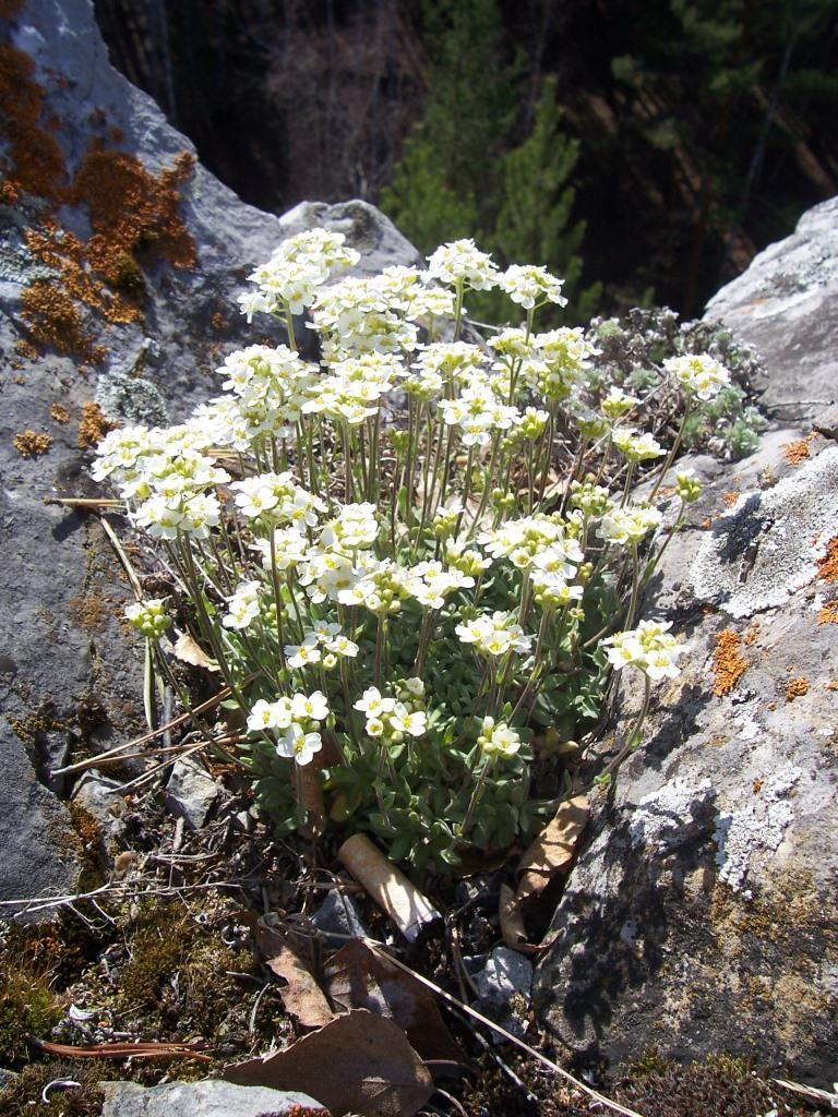 шиверекия подольская, растения реликты