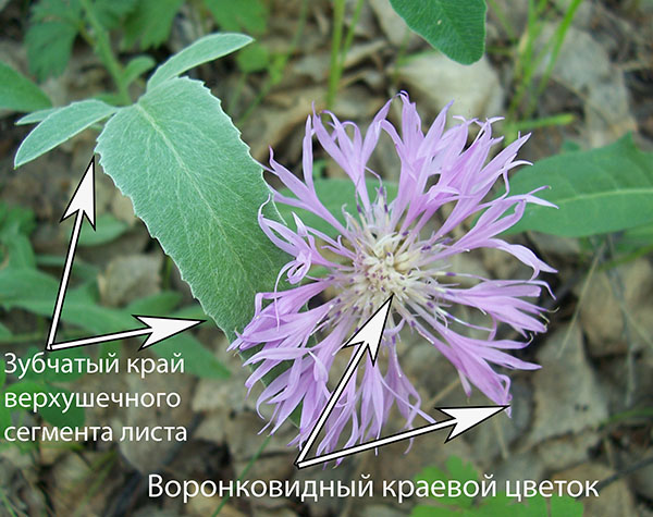 Василек сибирский, особенности строения