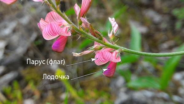 Розовые цветки эспарцета