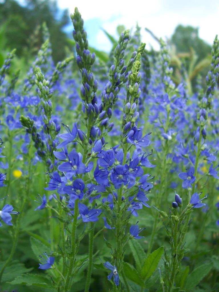 Синие цветы вероники широколистной