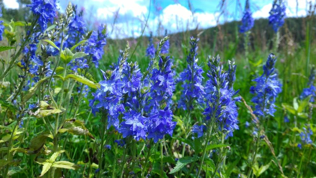 Яркие голубые цветы вероники широколистной