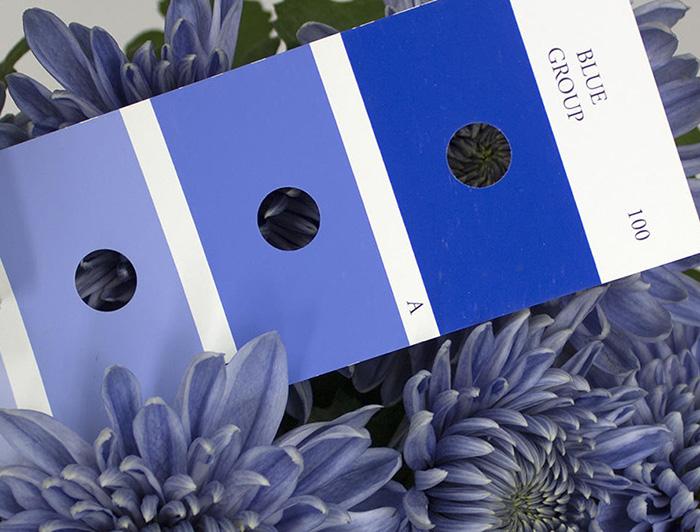 Хризантемы голубого цвета