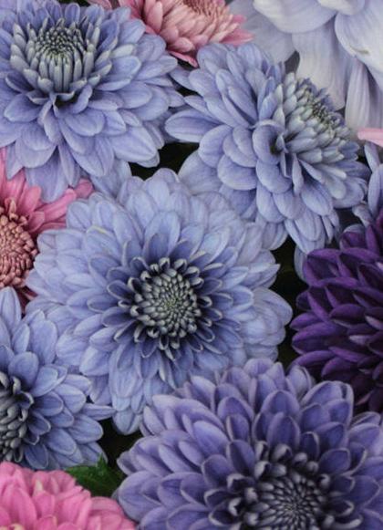 Голубые хризантемы, полученные японскими учеными