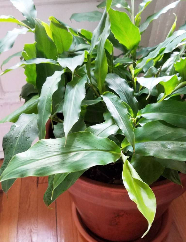 Растение кардамон
