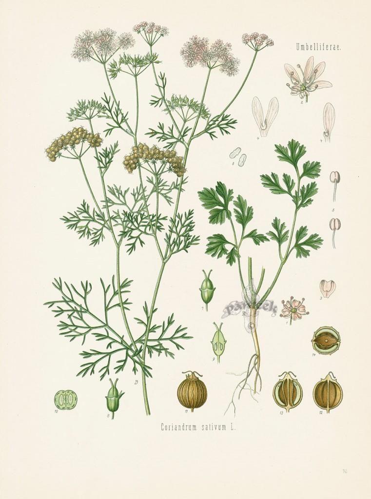 Растение кинза, или кориандр
