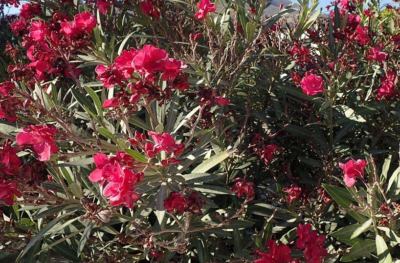 Декоративное и ядовитое растение олеандр.