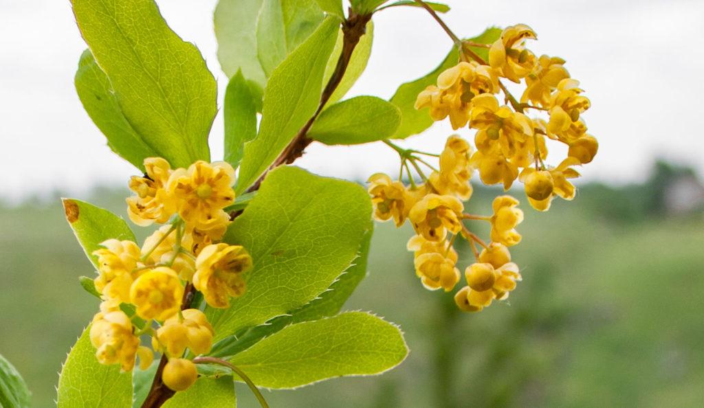 Цветы и листья барбариса