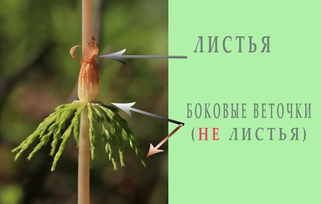 какие листья у хвоща