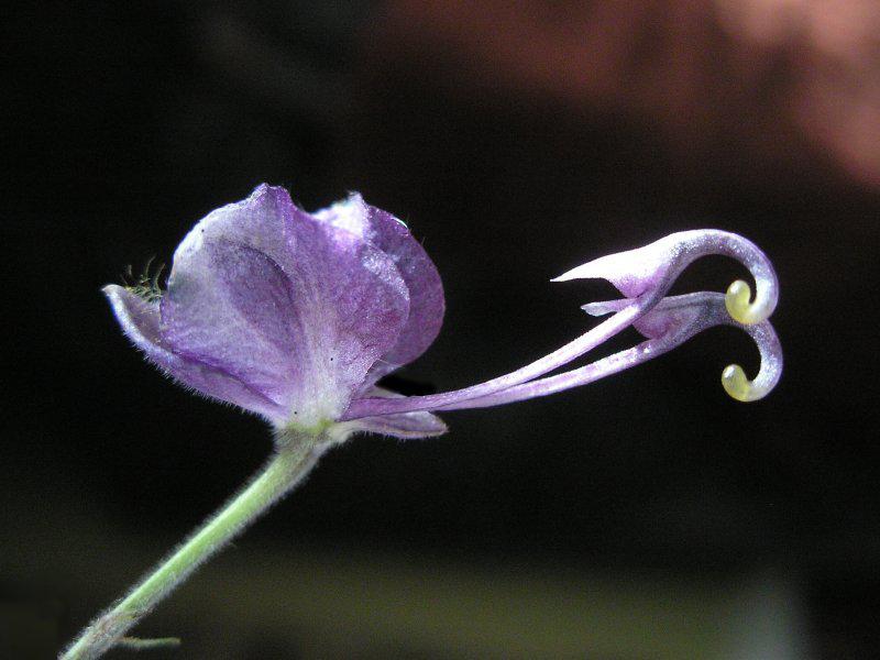 нектарники и чашелистики борца высокого