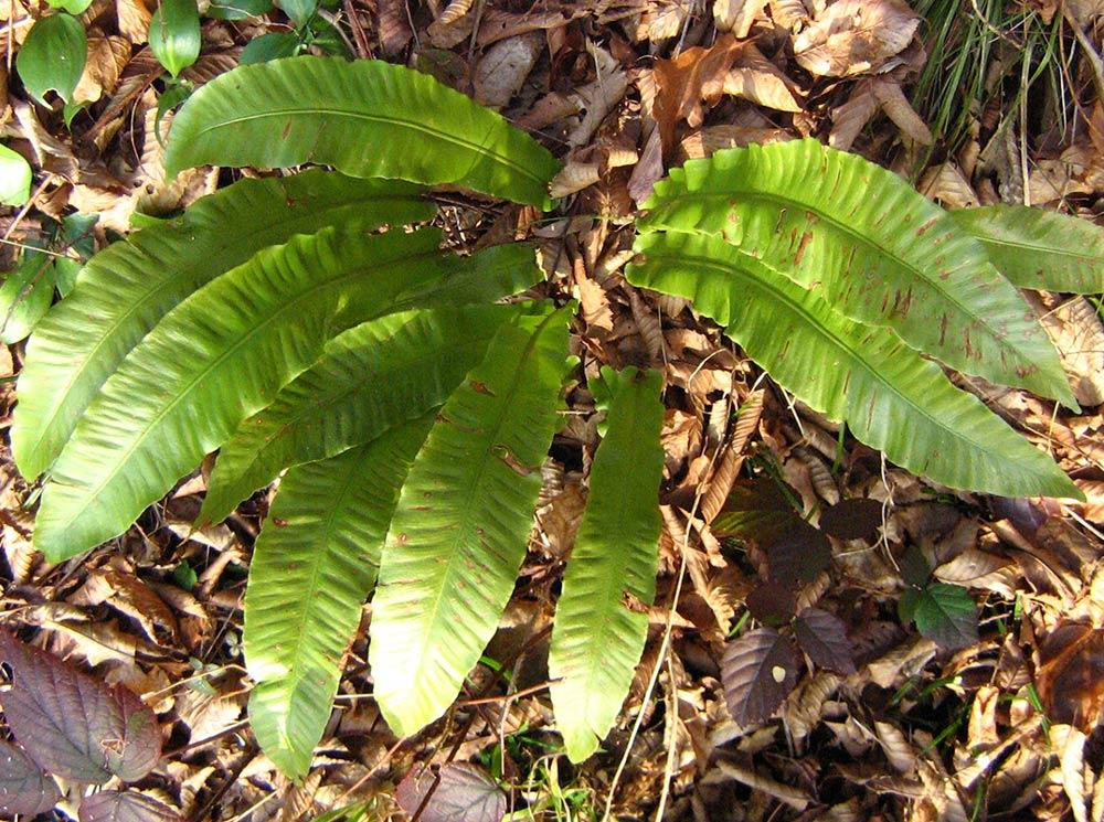 папоротник листовник обыкновенный